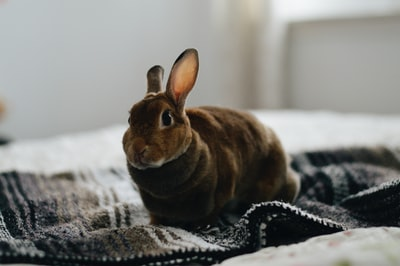 brown rabbit on gray textile bunny teams background