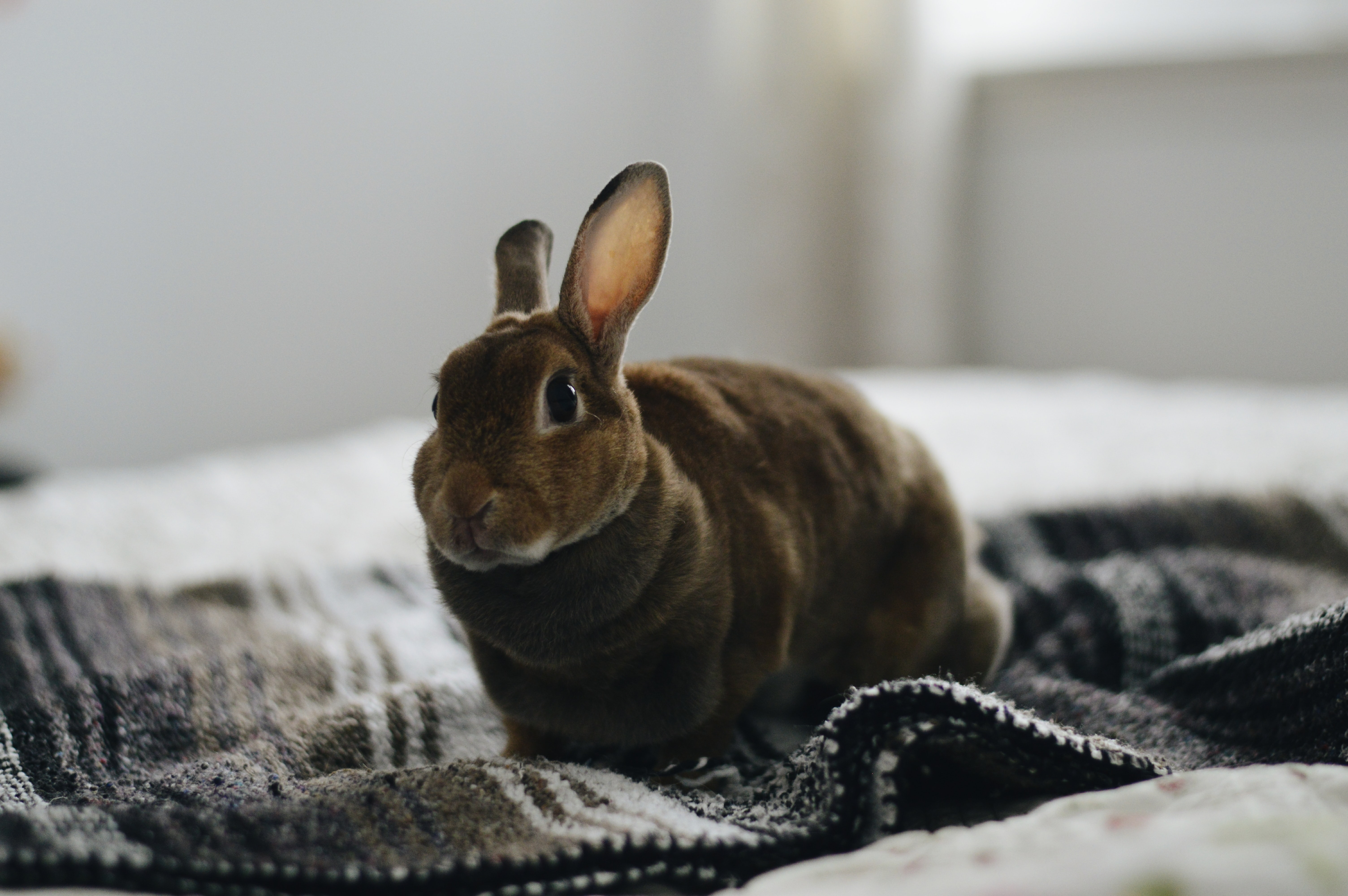brown rabbit on gray textile