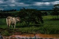 brown cow on grass field near tree