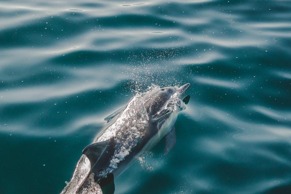 dolphin swimming on sea