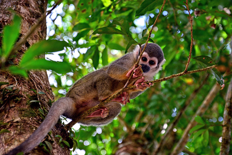 gray monkey resting on tree branch