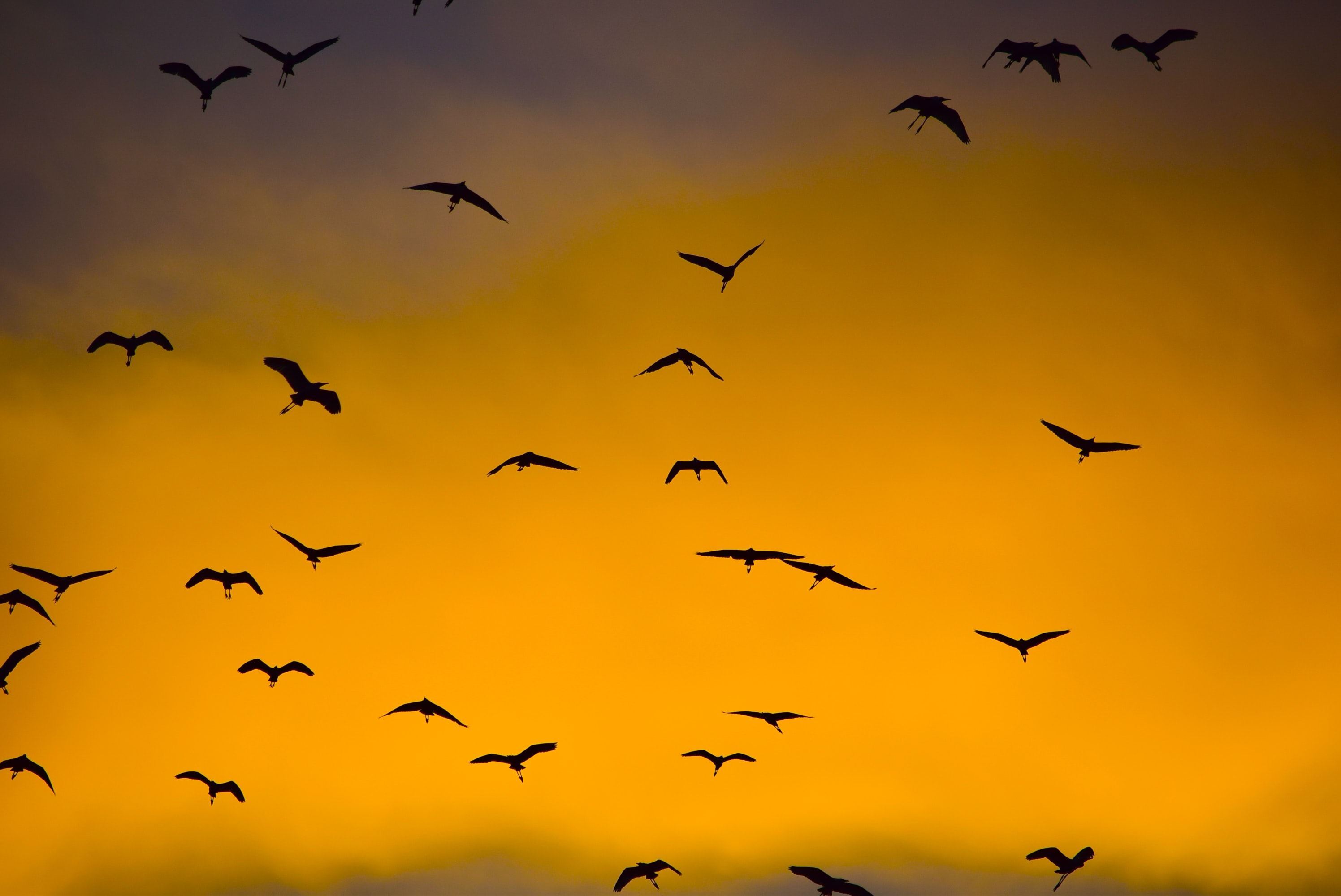 silhouette photo of flying birds