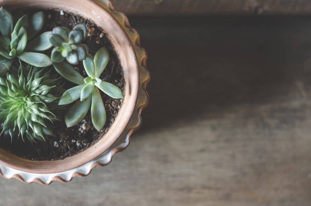 succulent plants in clay pot