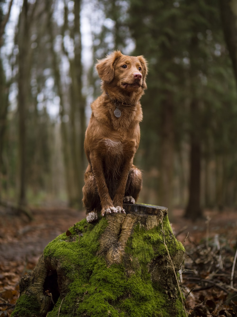 golden retriever on wood stump