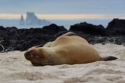 brown sea lion lying on sand during daytime ecuador teams background