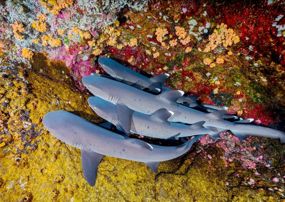 four gray sharks