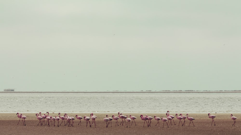 flock of flamingo at the beach