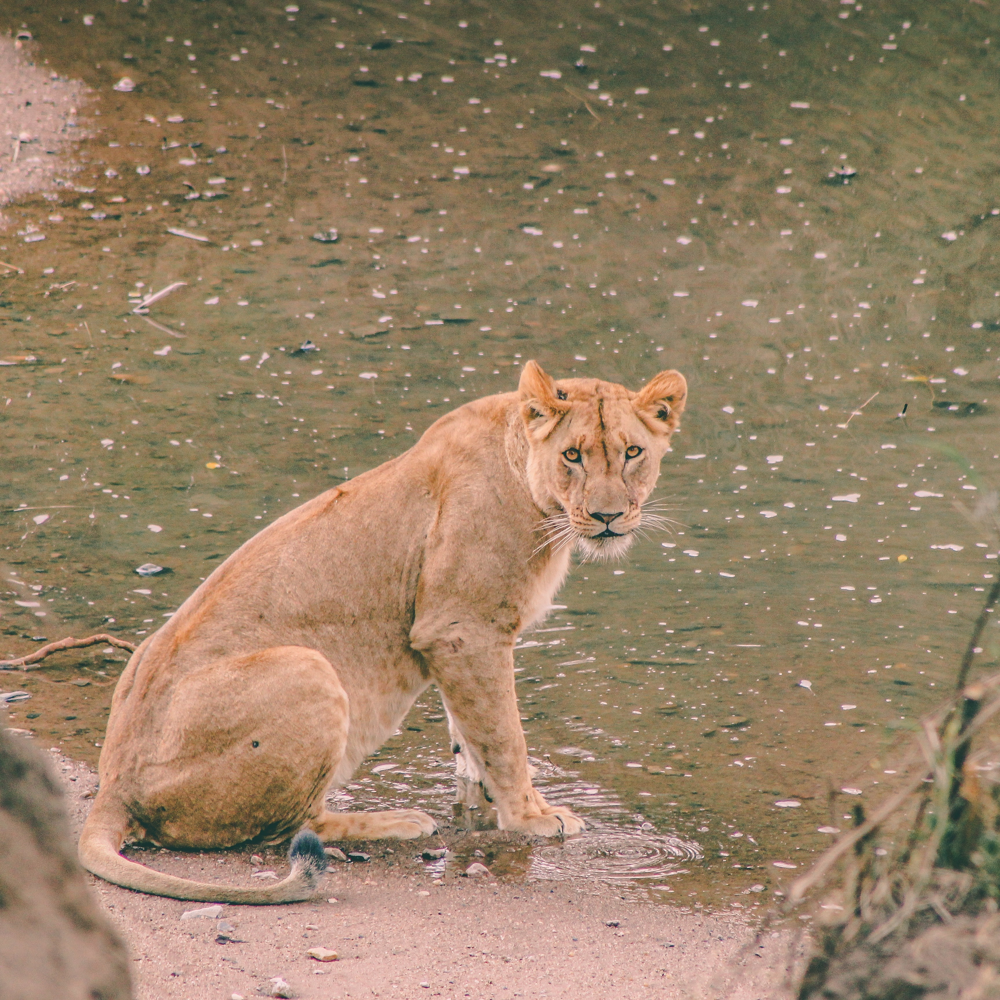 lioness beside body of water