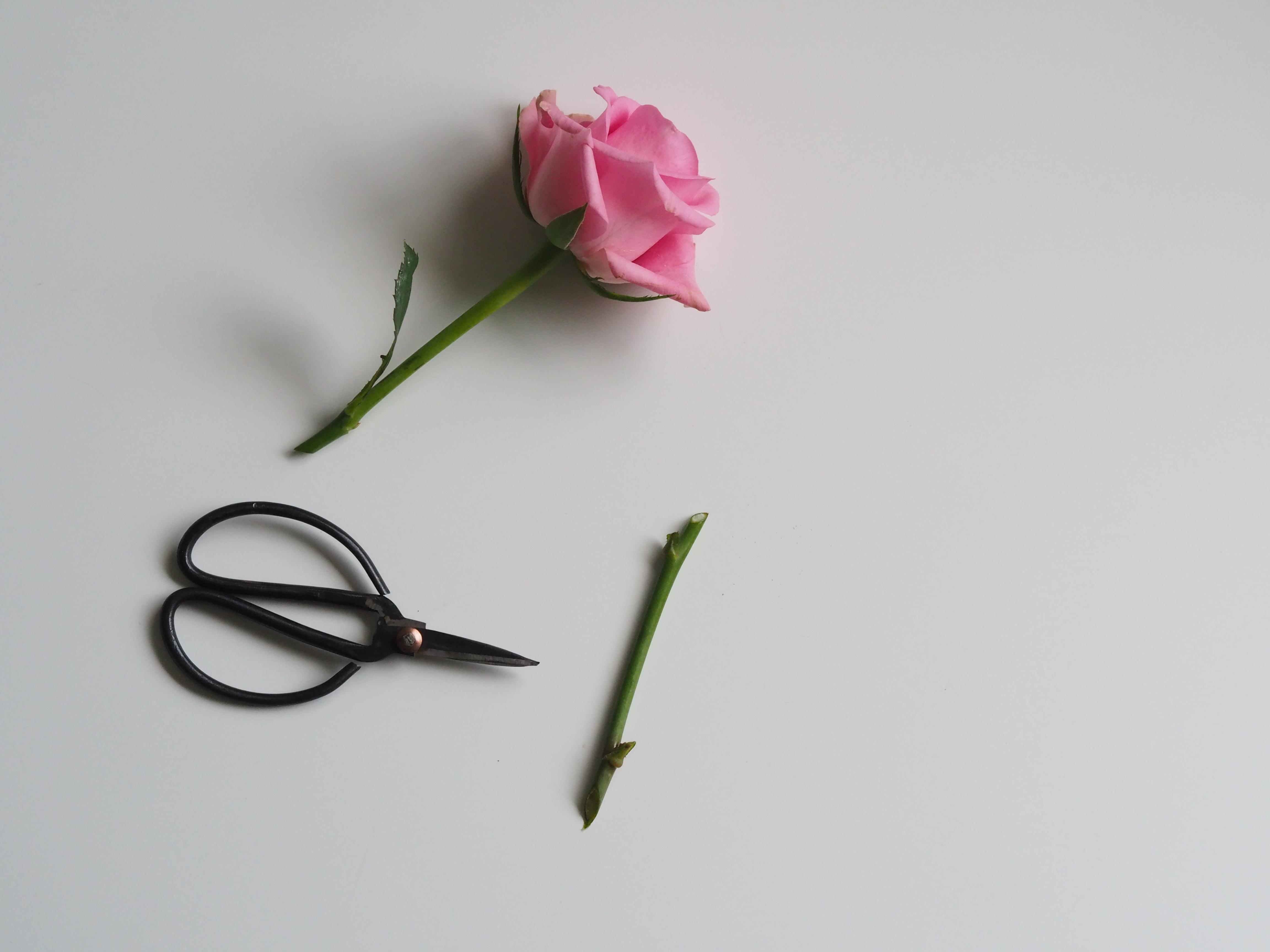 pink rose flower beside black scissor on white surface