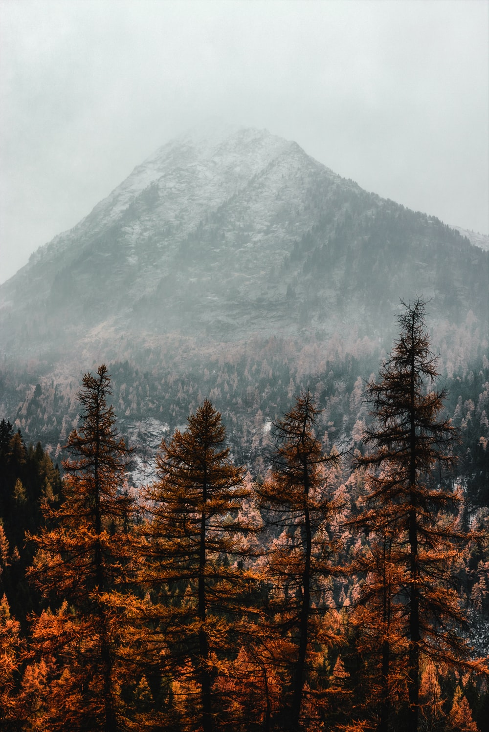 brown pine trees near mountain covered with fog