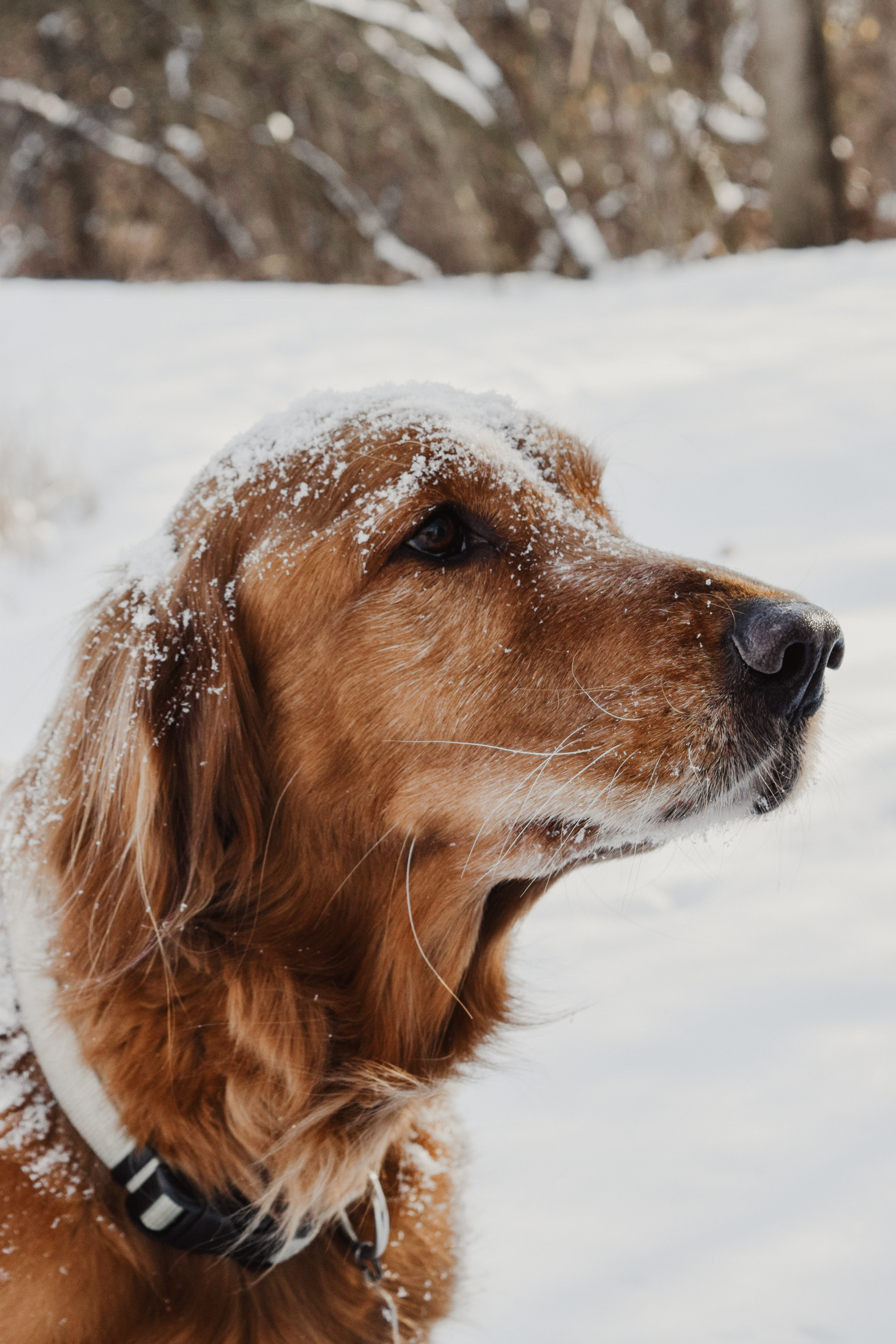 golden retriver covered by snow