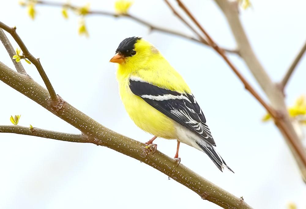 yellow Cardinal bird