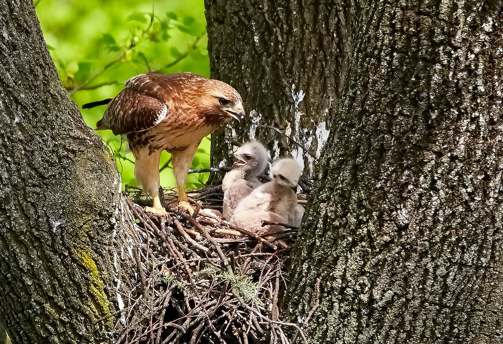 three brown chicks in nest
