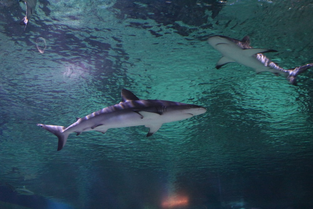 underwater photography of two black sharks
