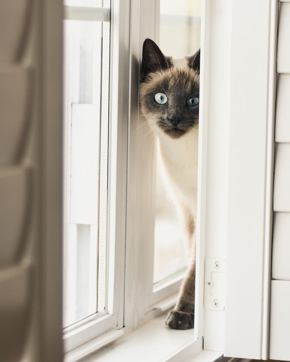 Siamese cat on windowsill