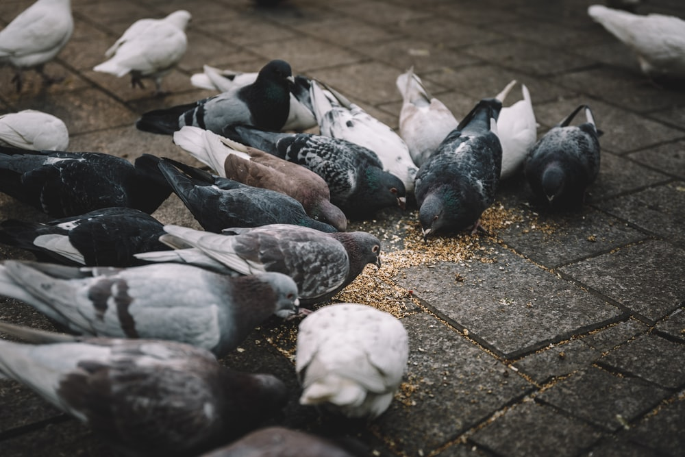 photo of flock of pigeon eating seeds