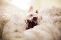 dog yawning