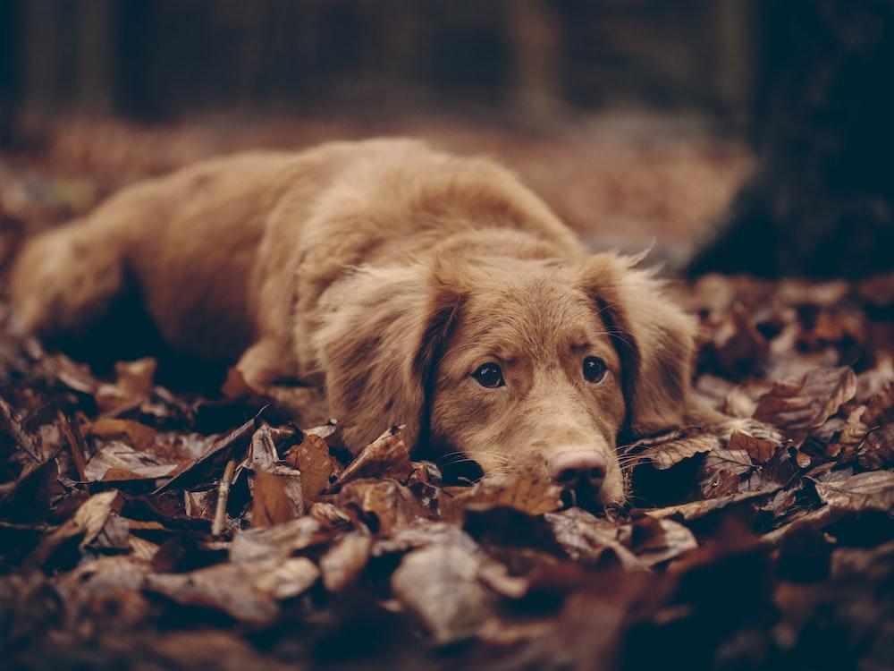 short-coated brown dog photo