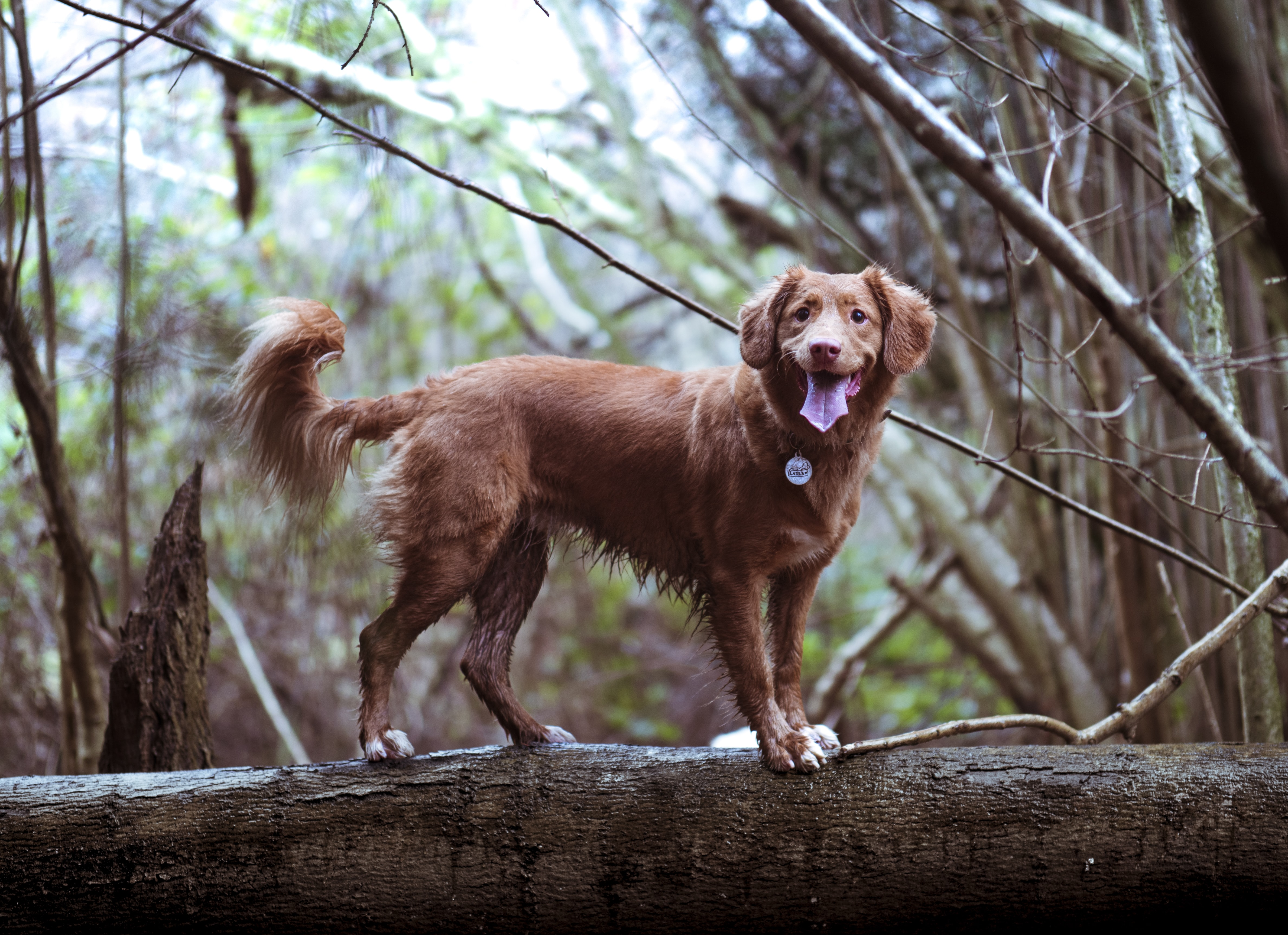 adult golden golden retriever on brown wooden log