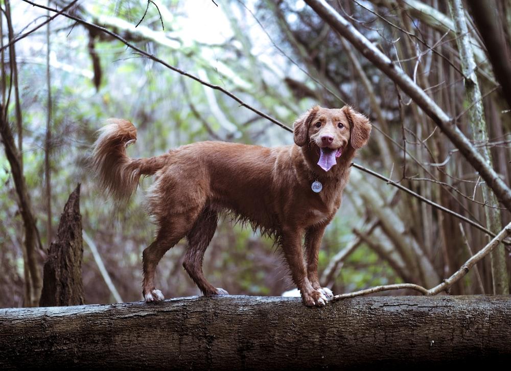 adult golden golden retriever on brown wooden log