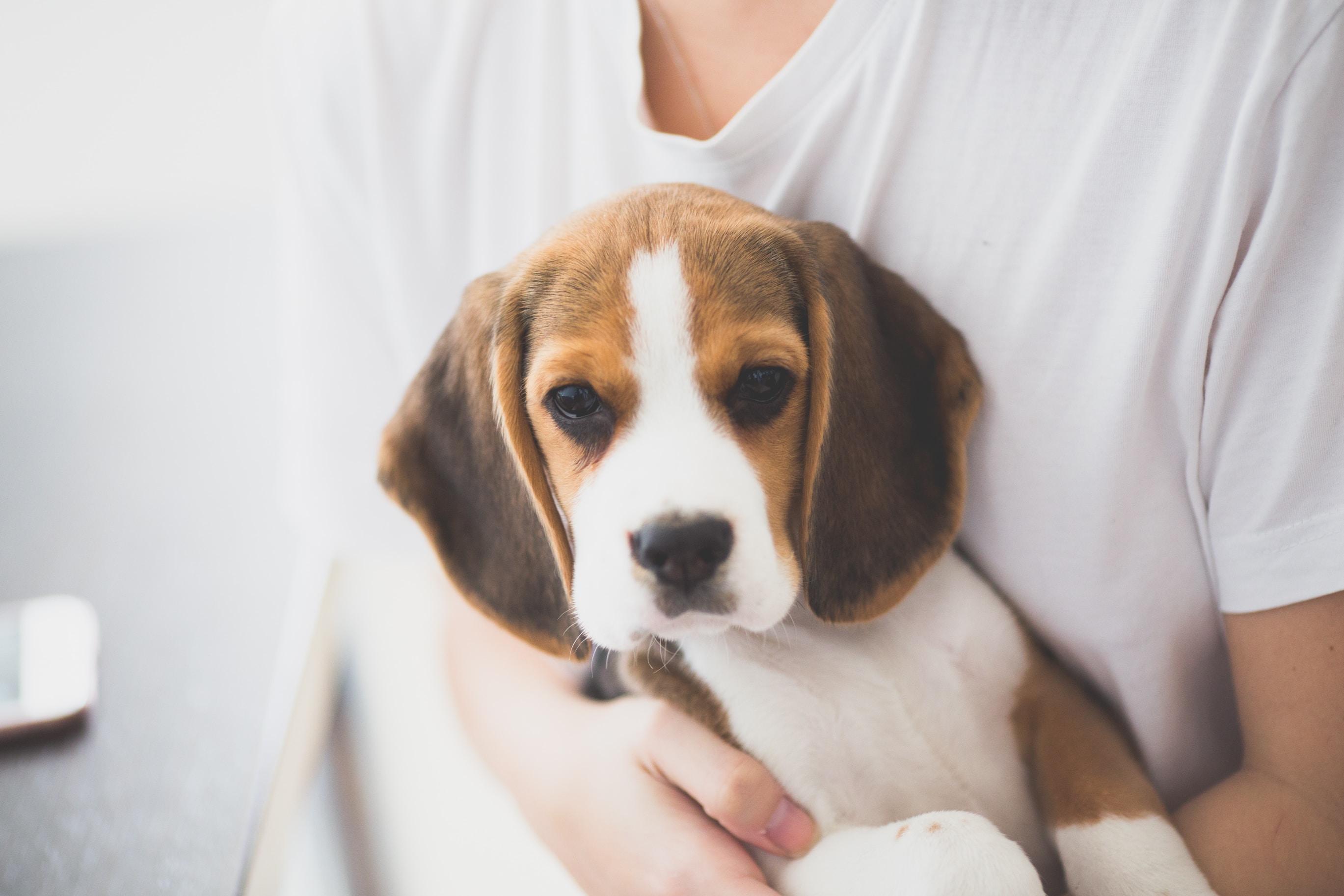 person carrying tri-colo beagle