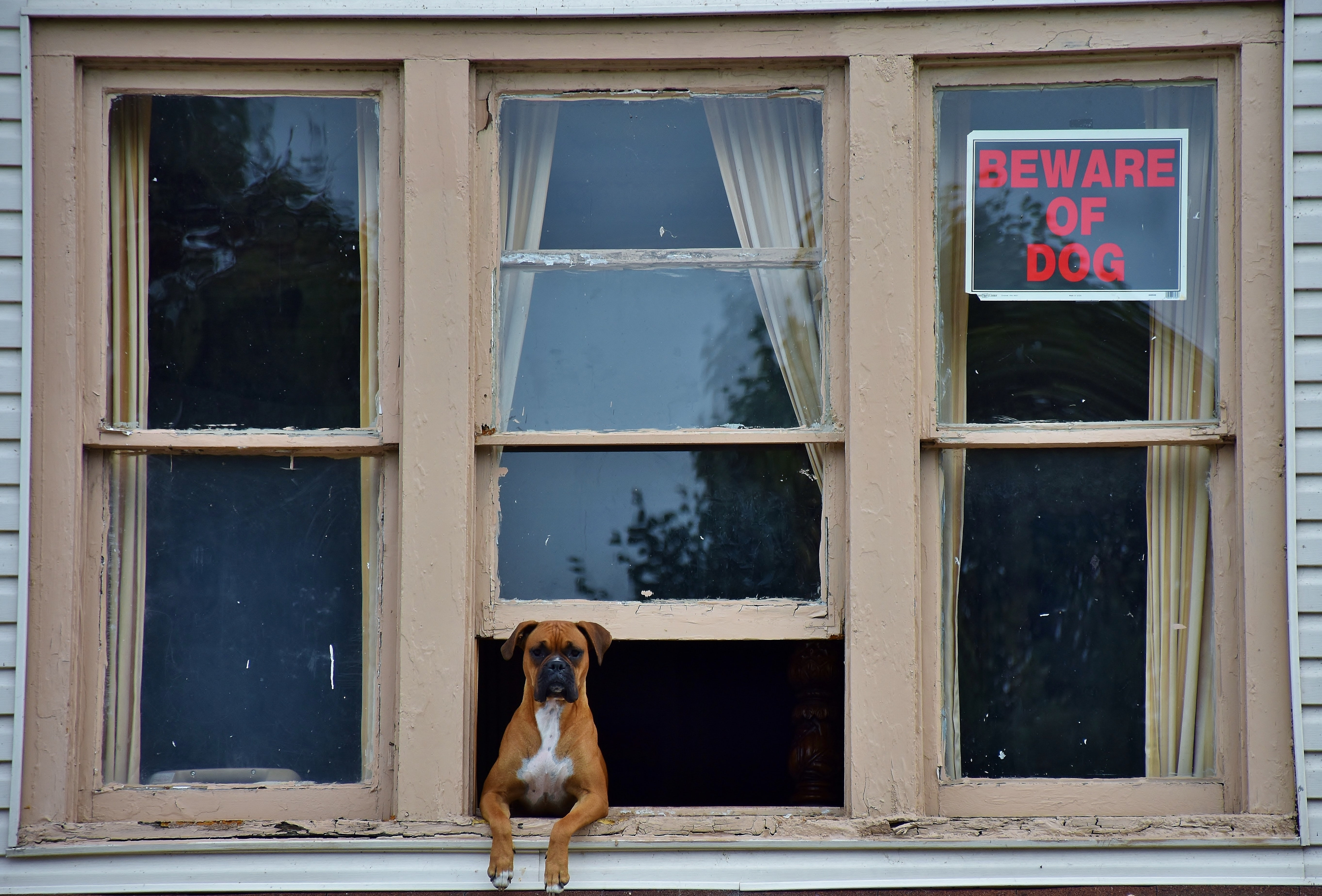 adult brown boxer on gray window