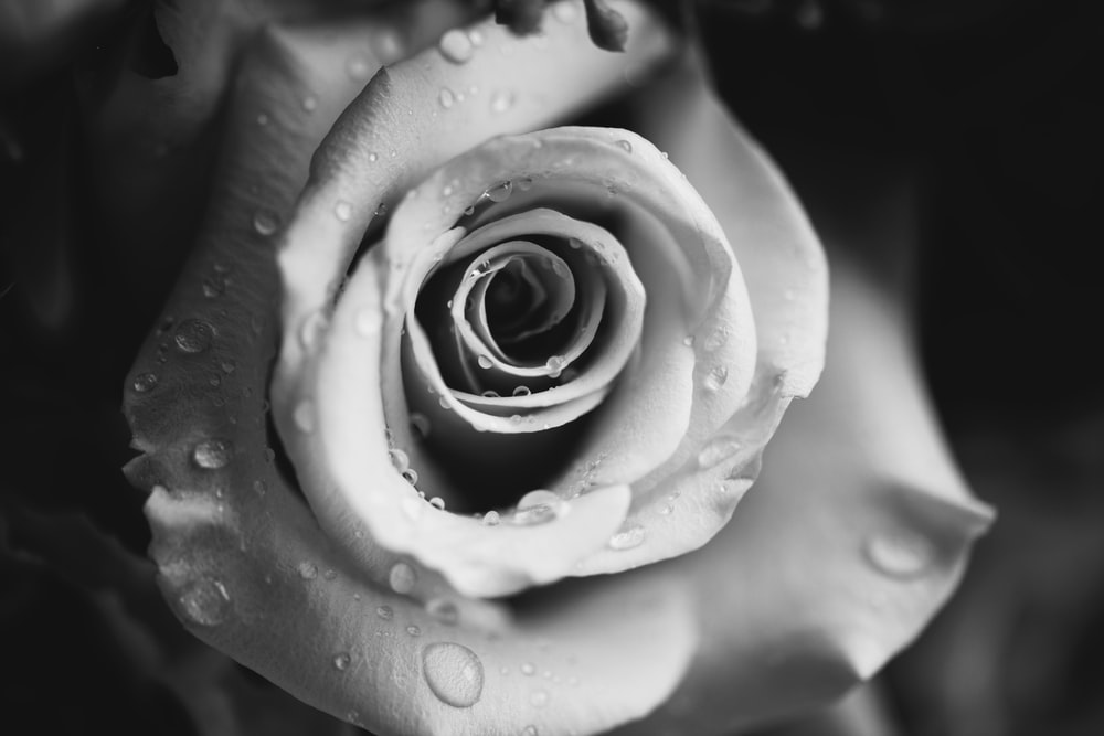 greyscale photo of water droplets on top of flower
