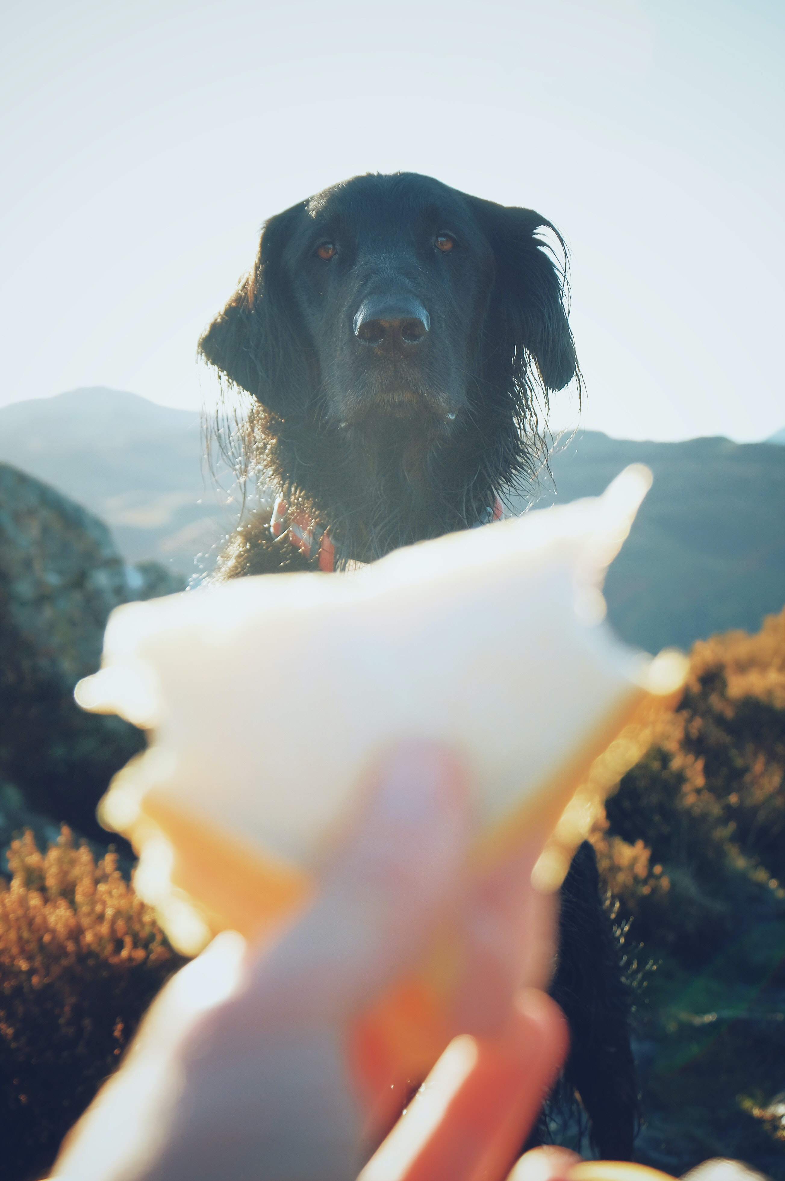 wet adult black flat-coated retriever looking at sandwich