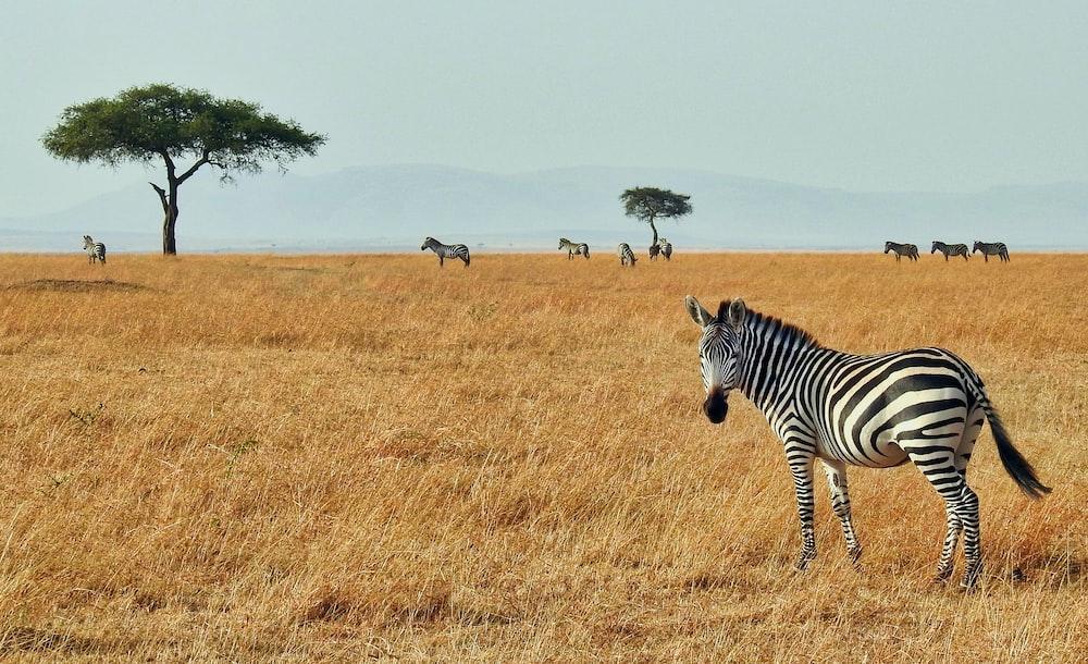 zebra in wild
