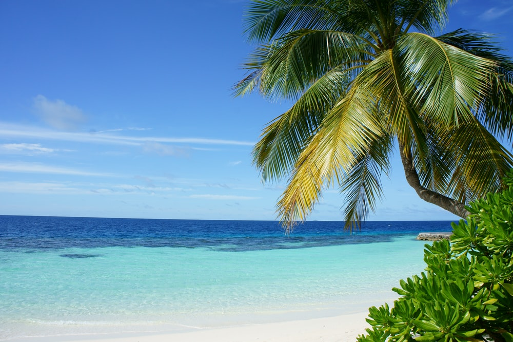 coconut tree near body of water
