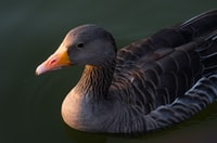shallow focus photography of grey duck on water