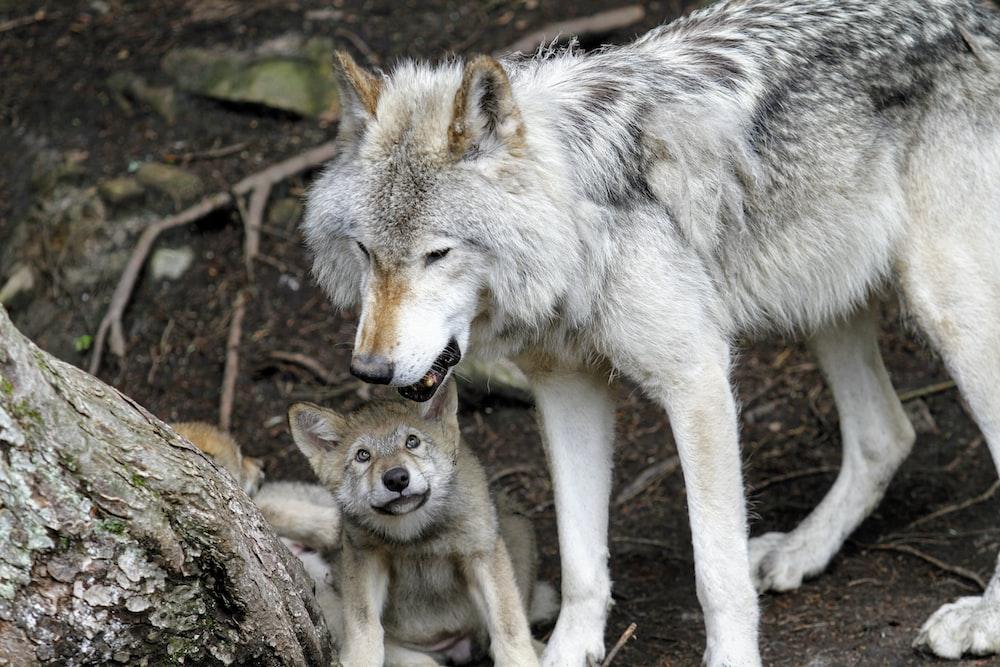 gray wolves near tree trunk
