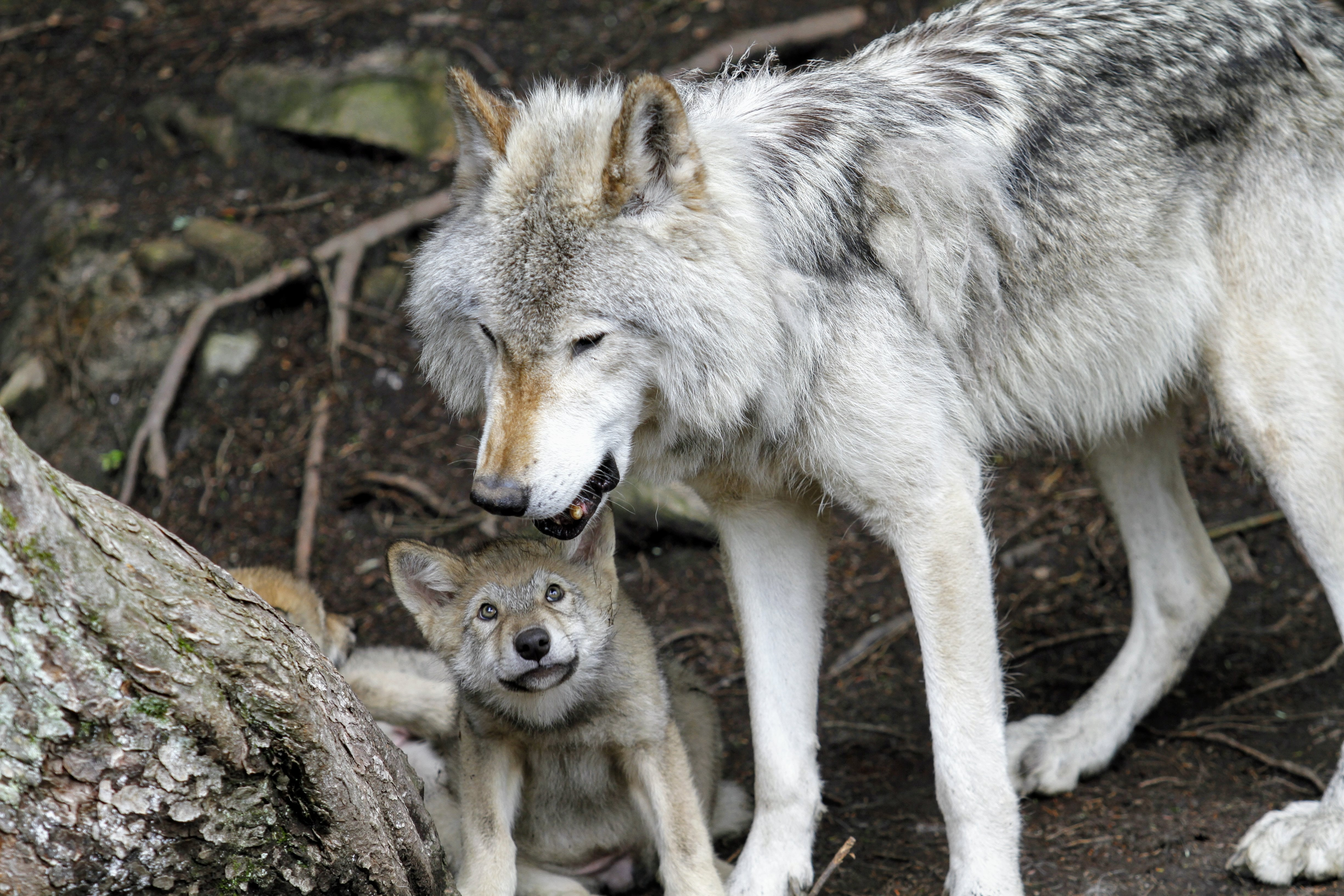gray wolves near tree trunk
