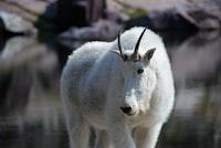 white 4-legged animal with horns