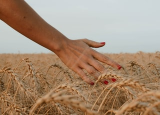 person touching brown wheat under white sky during daytime