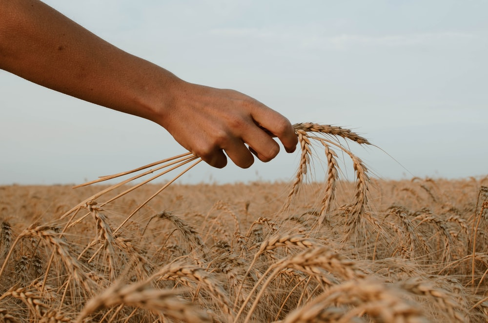 person holding stack of wheat
