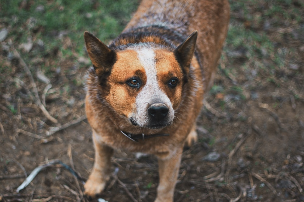 shallow focus photography of short-coated brown and white dog