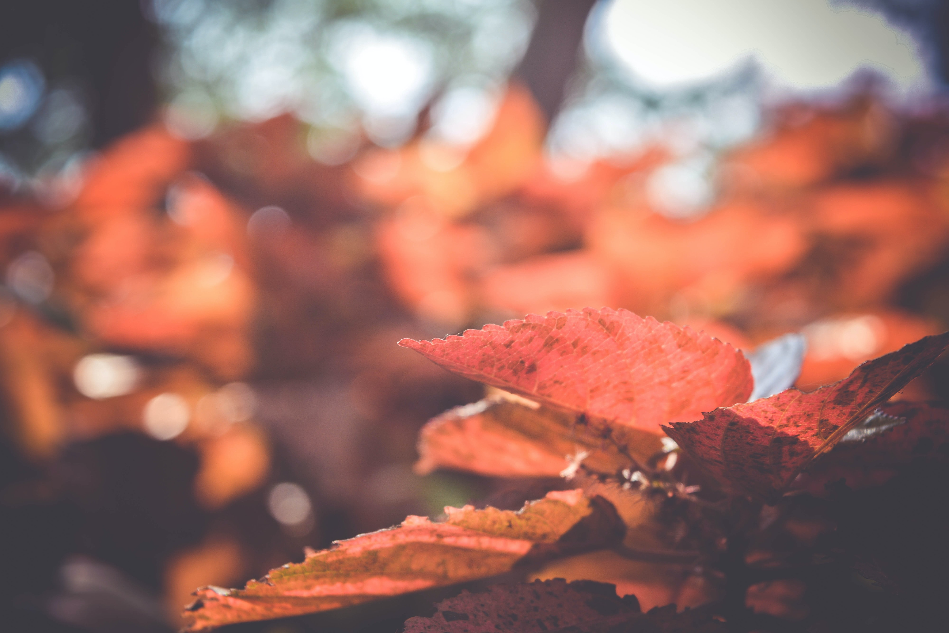 closeup photo of red leaves