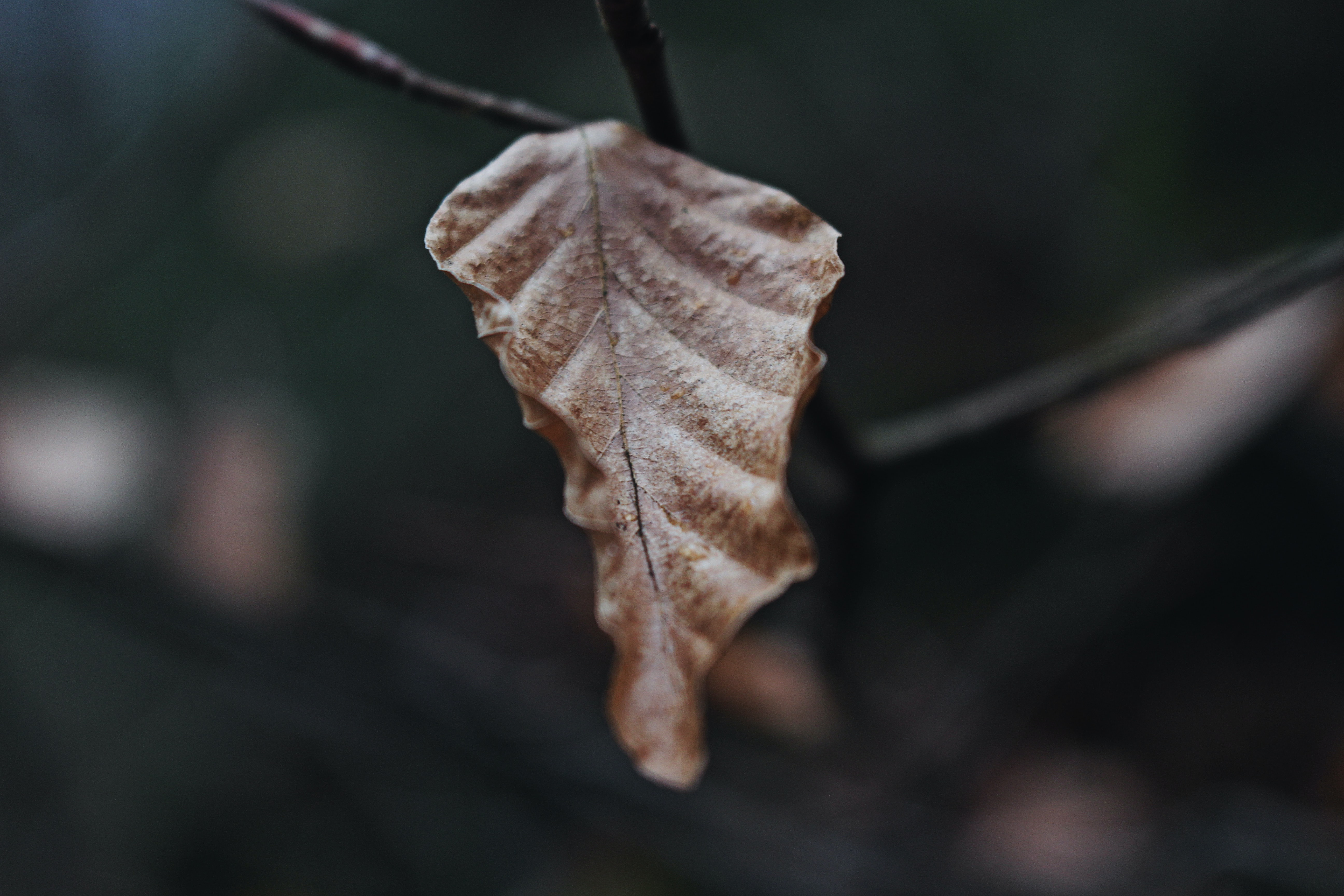 shallow focus photography of brown dried leaf