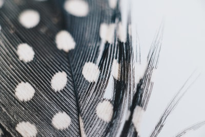 Macro shot of Guinea Feather