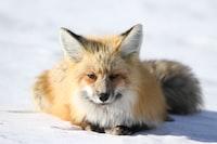 fox lying on snow ground