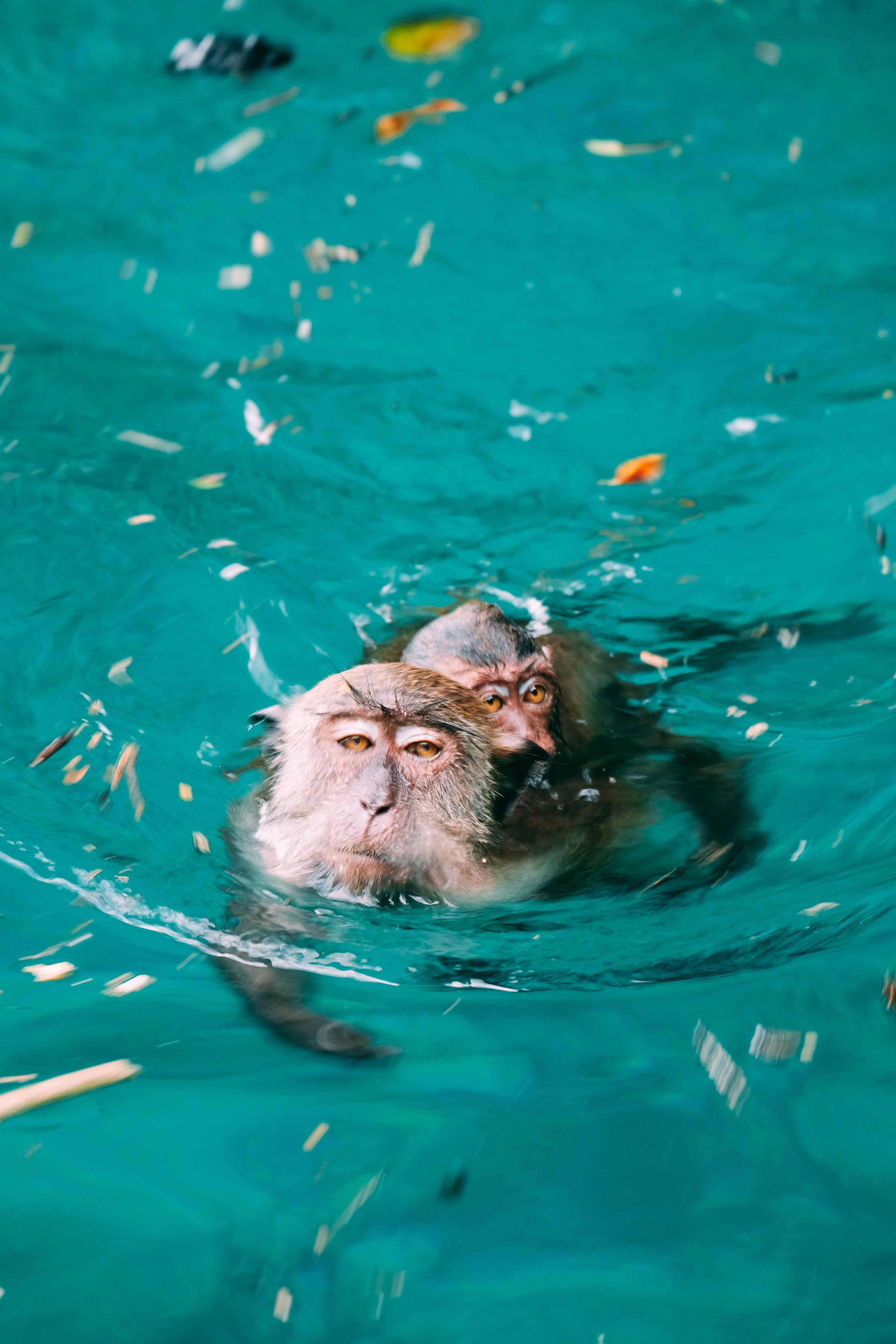 two monkeys swimming in water