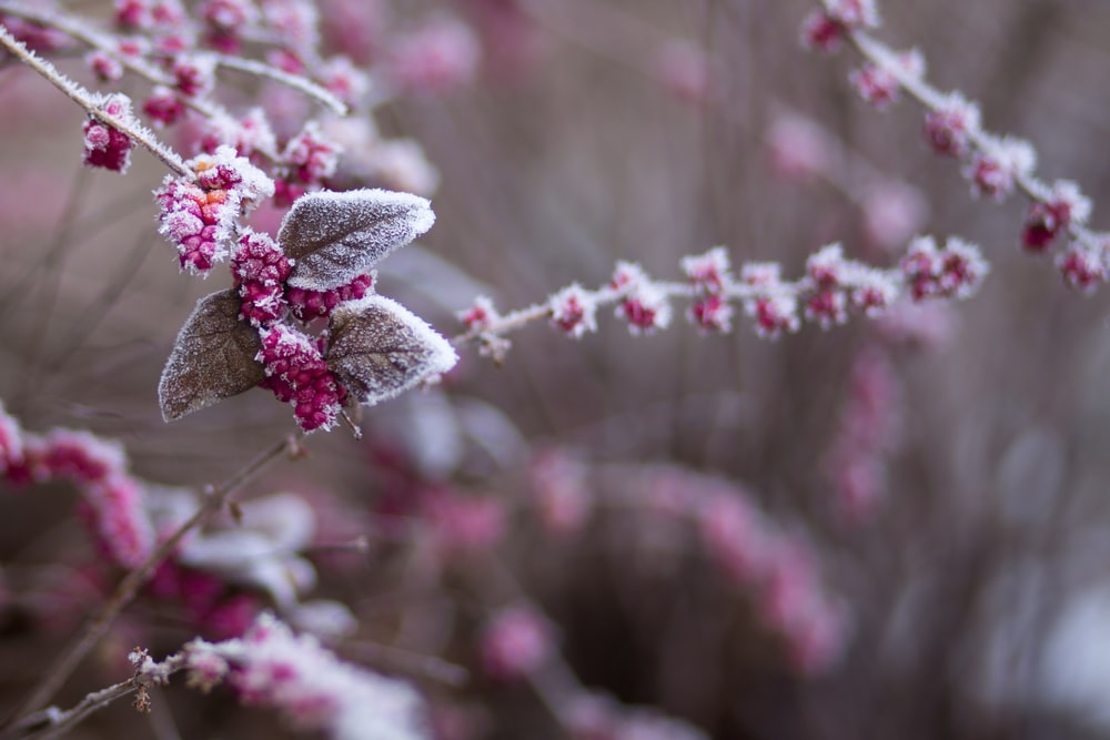 purple flower covered with snow