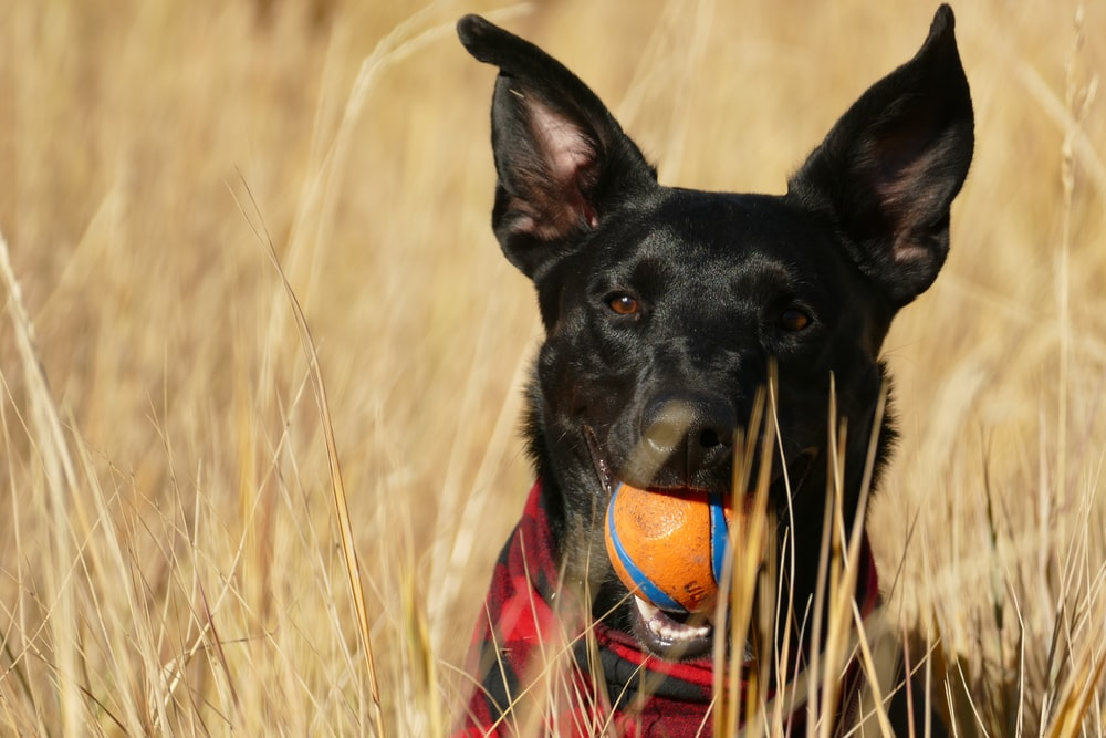 black pet dog with ball in mouth