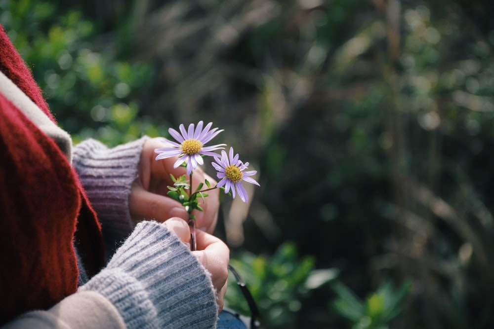 person holding purple aster flowers