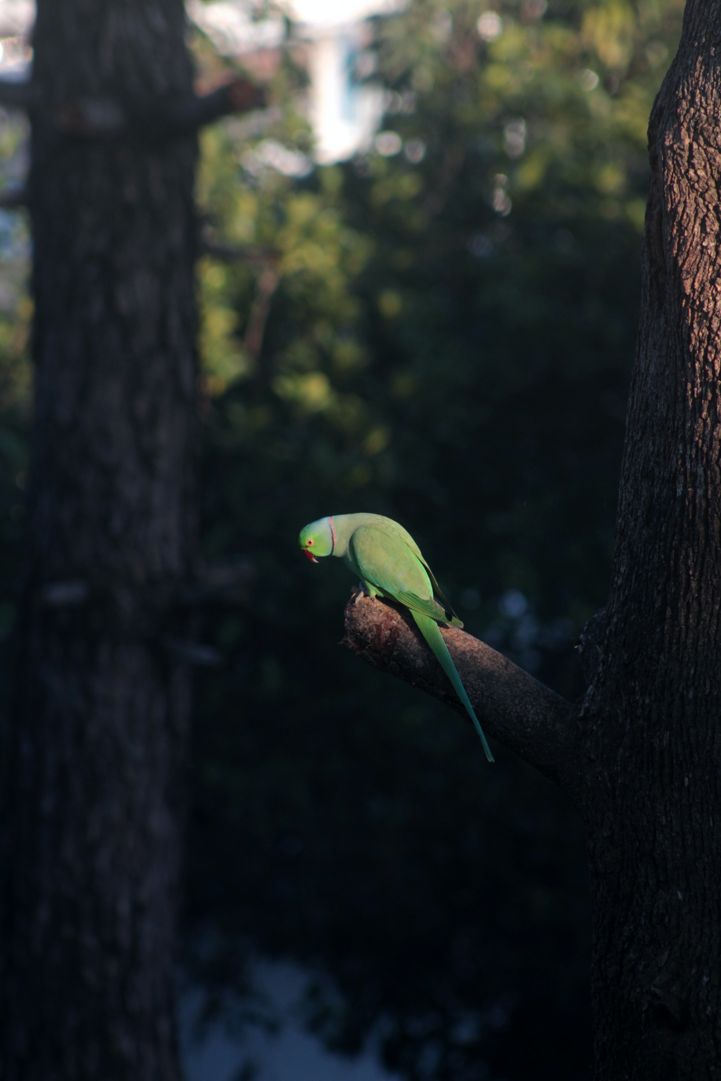 selective focus photography of rose-ringed parakeet perching on bough