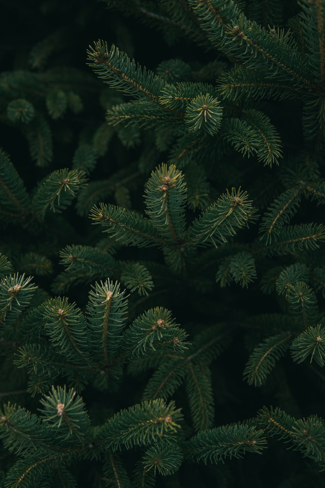 Christmas tree pictures hq download free images on - Pine tree wallpaper iphone ...
