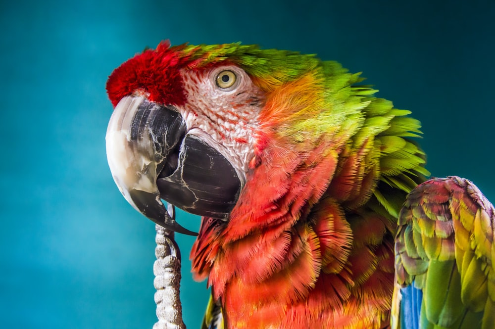 red, yellow, and green parrot