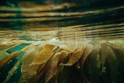Captured on a low tide free dive in Laguna Beach. The tide was so low that kelp was floating on the surface making it hard to navigate but also quite beautiful.