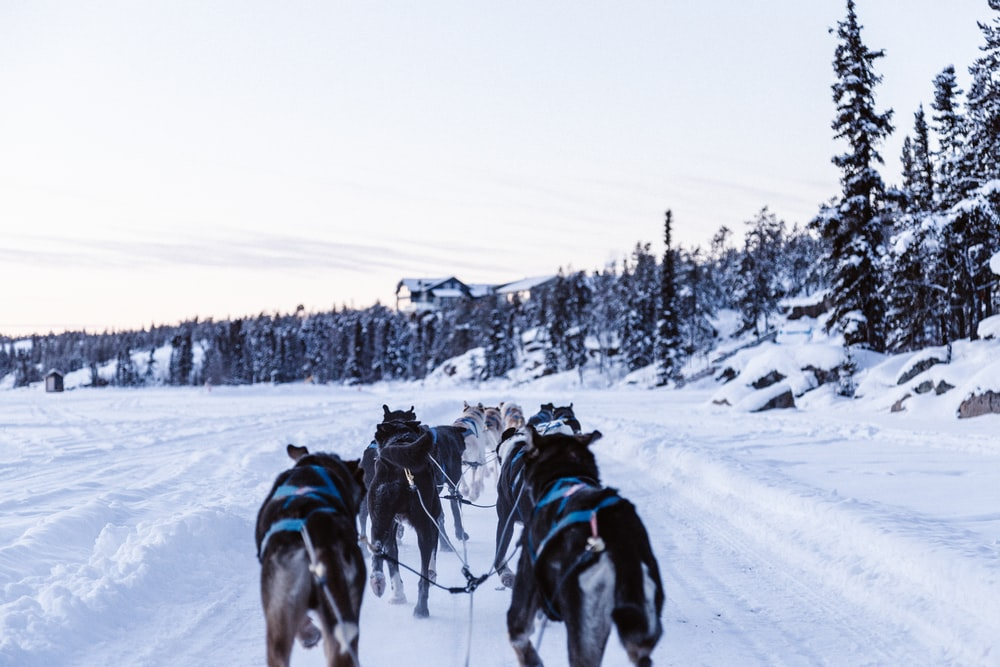 pack of wolves sleighing on snowy ground